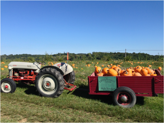 Early season pumpkin harvest